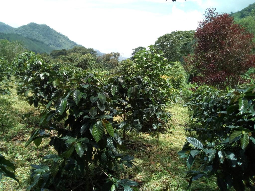 La Esperanza - DelAgua - Ally Coffee